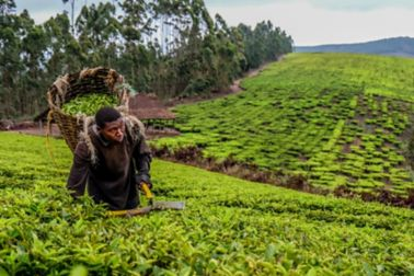 There are three main tea-growing areas in Tanzania namely southern Highland Zone, the North East Zone and the Northwest Zone.